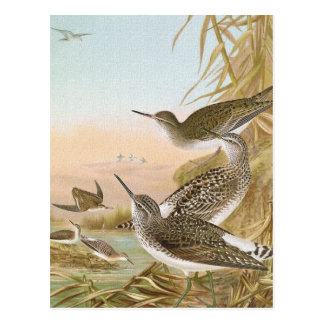 """Sandpipers"" Vintage Bird Illustration Postcard"