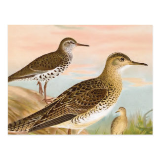 Sandpipers Vintage Bird Illustration Postcard