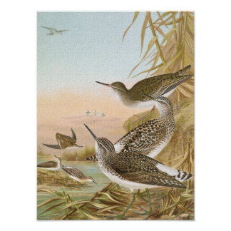 """Sandpipers"" Vintage Bird Illustration Poster"