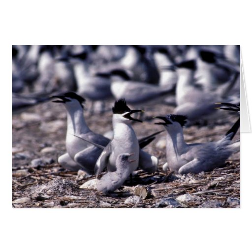 Sandwich Terns Cards