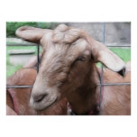 Sandy The Goat At The Gate Posters