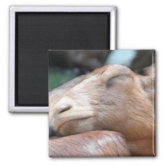 Sandy The Goat - Nap Time! Magnet