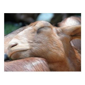 Sandy The Goat - Nap Time! Postcard