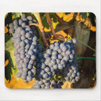 Sangiovese grapes in a vineyard mousepads