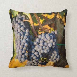 Sangiovese grapes in a vineyard pillow