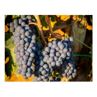 Sangiovese grapes in a vineyard postcard