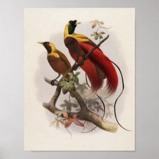 Sanguinea de Elliot - de Paradisea - ave del paraí Póster
