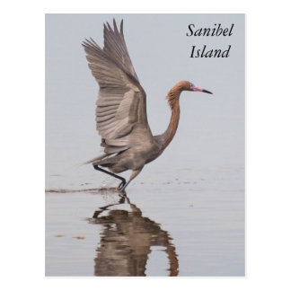 Sanibel Reddish Egret Postcard