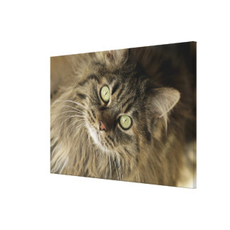 Santa Fe, New Mexico, USA. Maine coon cat. (PR) Canvas Print