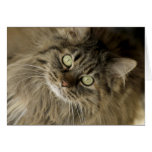 Santa Fe, New Mexico, USA. Maine coon cat. (PR) Card