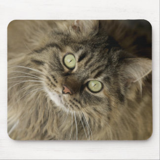 Santa Fe, New Mexico, USA. Maine coon cat. (PR) Mouse Pad