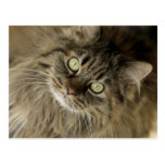 Santa Fe, New Mexico, USA. Maine coon cat. (PR) Postcard