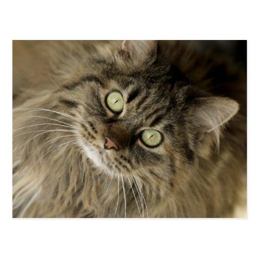 Santa Fe, New Mexico, USA. Maine coon cat. (PR) Postcards