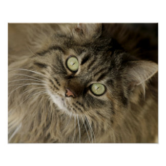 Santa Fe, New Mexico, USA. Maine coon cat. (PR) Poster