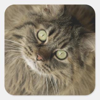 Santa Fe, New Mexico, USA. Maine coon cat. (PR) Stickers
