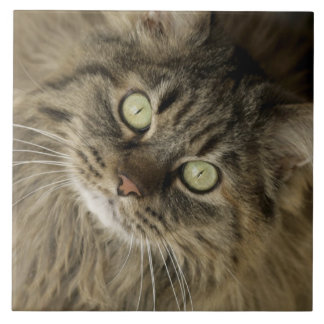 Santa Fe, New Mexico, USA. Maine coon cat. (PR) Tile