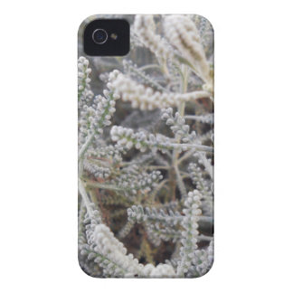Santolina chamaecyparissus iPhone 4 cover