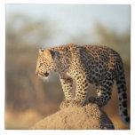 Santuario de fauna de Harnas, Namibia Azulejo Cuadrado Grande