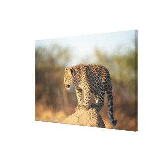 Santuario de fauna de Harnas, Namibia Impresión En Lienzo