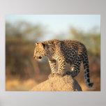 Santuario de fauna de Harnas, Namibia Póster