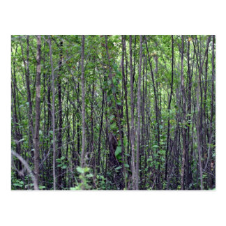 Sapling thicket in Porongurup Postcard