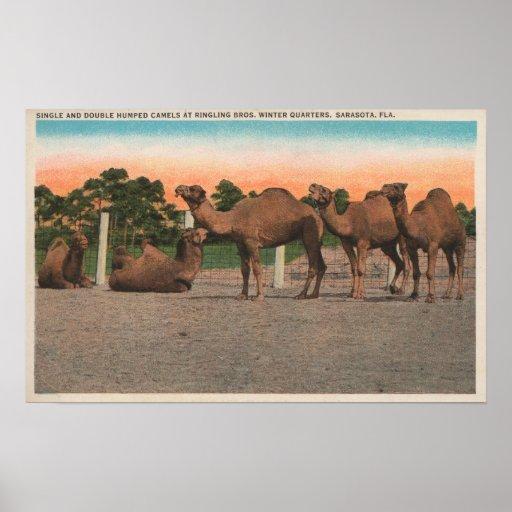 Sarasota, la Florida - camellos en Ringling Bros Póster