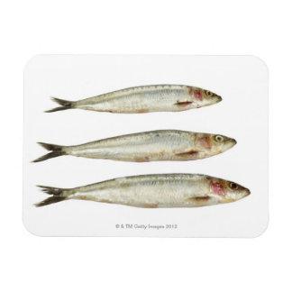 Sardines (Pilchards) 2 Magnet