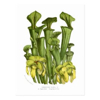 Sarracenia flava postcard