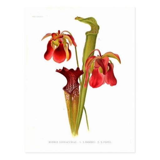 Sarracenia hybrids postcards