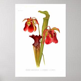 Sarracenia hybrids poster
