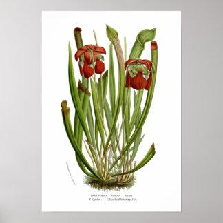 Sarracenia rubra poster