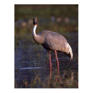 Sarus Crane Postcard