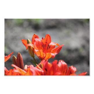 Saskatchewan Prairie Lily Photo Print