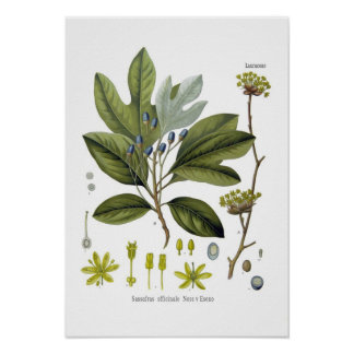 Sassafras officinale posters
