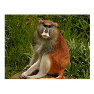 Saturated Patas Monkey With Long Tail Postcard
