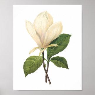 saucer magnolia(Magnolia soulangiana) by Redouté Poster