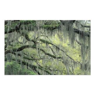 Savannah, Georgia, Live Oak tree draped with Photo Print