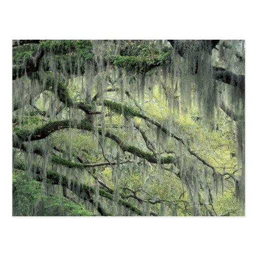 Savannah, Georgia, Live Oak tree draped with Postcard