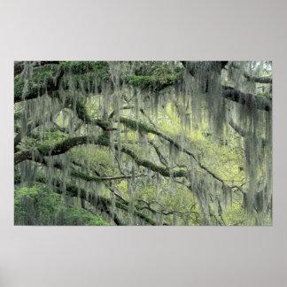 Savannah, Georgia, Live Oak tree draped with Poster