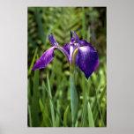Savannah Iris (Iris tridentata) Poster
