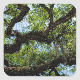 Savannah Live Oak And Spanish Moss Square Sticker