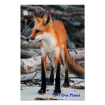 Save Our Planet series red fox poster - Customized
