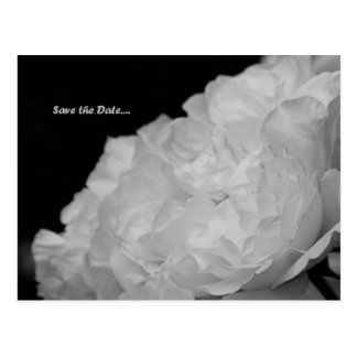 Save the Date Elegant White Rose Postcard
