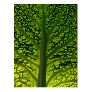 Savoy cabbage leaf postcard