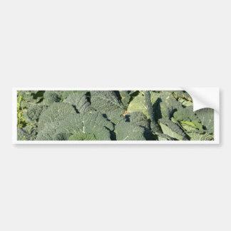 Savoy cabbage plants in a field. bumper sticker