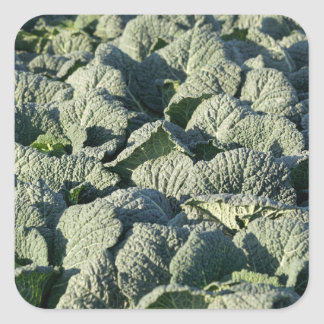 Savoy cabbage plants in a field. square sticker