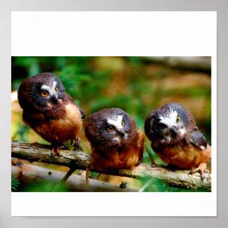 Saw Whet Owl, Fledglings Poster