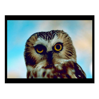 Saw-whet owl postcard