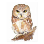 Saw Whet Owl, Watercolor Bird Collection Post Cards