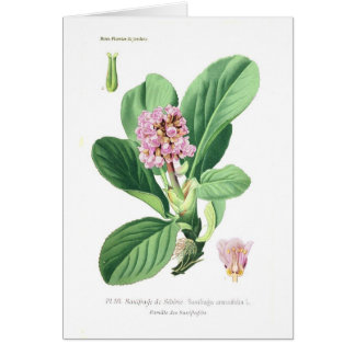 Saxifraga crassifolia (Bergenia) Card
